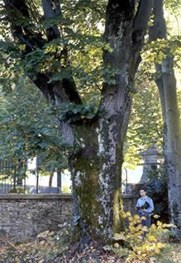 Alberi monumentali a Rieti e provincia