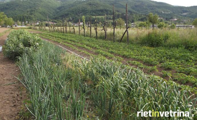 agricoltura_orto_piantagione_insalata_1