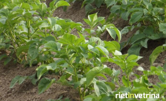 agricoltura_orto_piantagione_insalata_3