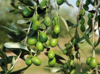 olive_olivicoltura_1