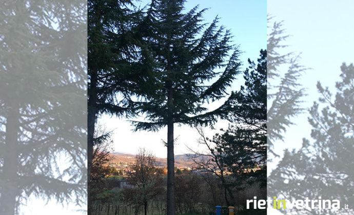 albero_cedro_nuovo
