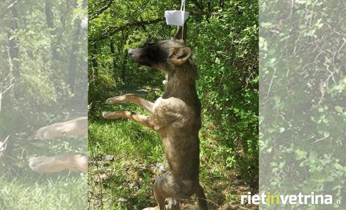 Un altro lupo impiccato, sul corpo lasciato un biglietto